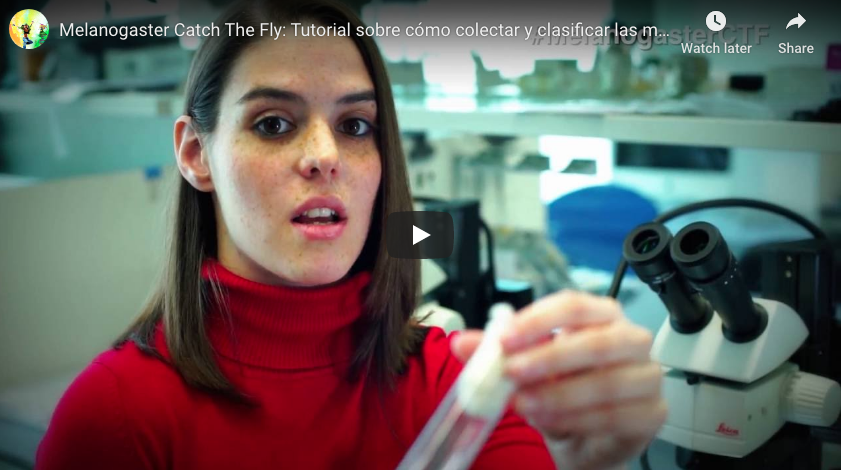 How to collect and classify Drosophila melanogaster samples (Video-tutorial)